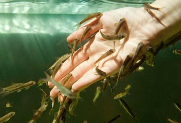 Гарра руфа – массаж волшебными рыбками
